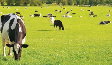 Trang trại bò sữa tại NewZealand