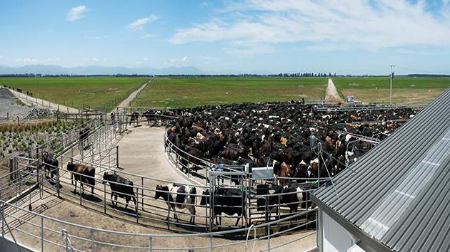 Trang trại công nghệ chăn nuôi bò sữa tại New Zealand